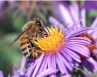 Part One:  Alarming Disappearance of Honey Bees