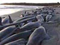 On March 2, 2009, people were trying frantically to save 200 pilot whales and other dolphins stranded on King Island north of the state of Tasmania, Australia - the most recent in a string of unexplained beachings since November 2008. Scientists say repeated beachings are unusual and so far have no answers.
