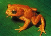 episode 9 Amphibian Golden frog